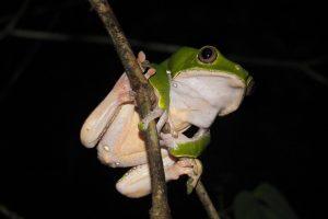 В Бразилии обнаружили редчайшую лягушку, которая не умеет прыгать (видео)