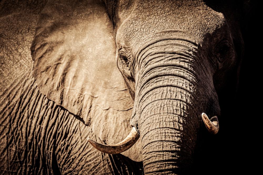 В Ботсване двух охотников лишили лицензий за убийство «особого» слона