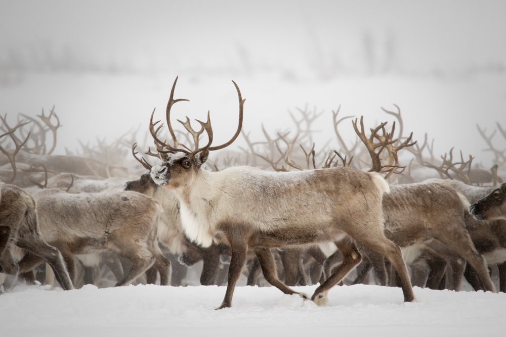 Изменение климата губит оленей арктической Швеции