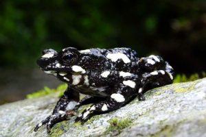 В Колумбии впервые за 30 лет обнаружили редчайшую жабу-арлекина
