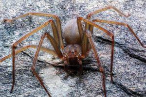 В Мексике обнаружили новый вид паука, чей яд вызывает моментальный некроз тканей у жертвы
