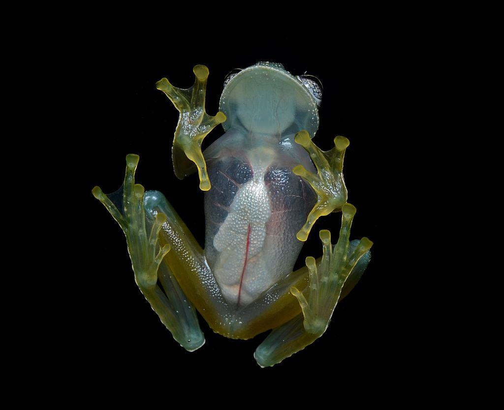 В Боливии нашли исчезнувших стеклянных лягушек
