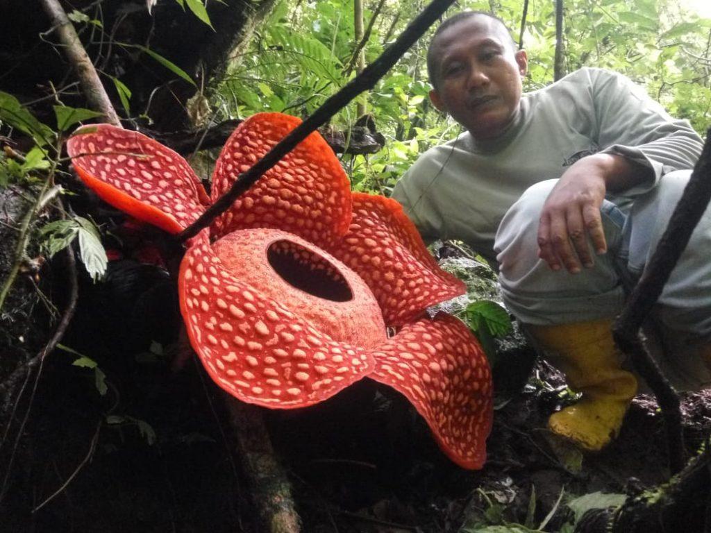 В Индонезии нашли крупнейший в мире цветок.Вокруг Света. Украина