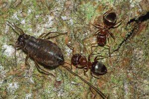 Тли вместо коров: муравьи тоже занимаются фермерством