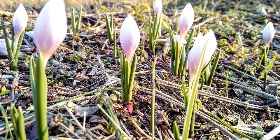В украинской Бессарабии расцвели краснокнижные цветы