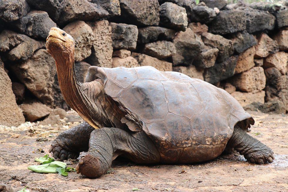 100-летний черепаха-плейбой спас свой род от вымирания