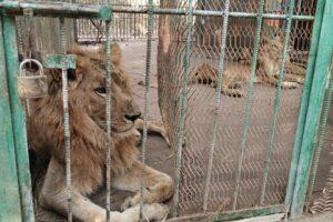 В Судане частный зоопарк морит львов голодом