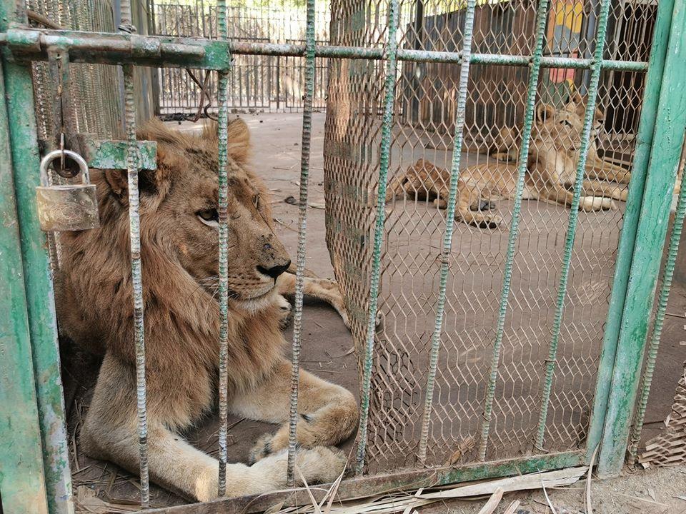 В Судане частный зоопарк морит львов голодом.Вокруг Света. Украина