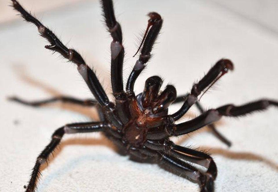 Австралийцам грозит нашествие опасных воронковых пауков.Вокруг Света. Украина