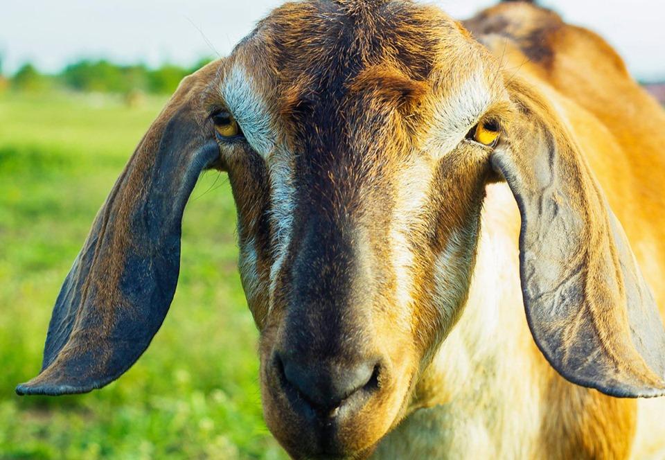 В США козел и пес сразятся за пост почетного мэра.Вокруг Света. Украина