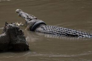 В Индонезии за спасение крокодила от шины обещают награду