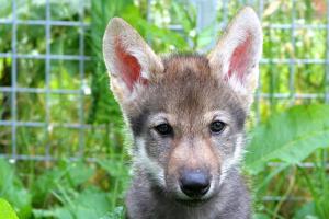 Волки удивили ученых своим поведением: они играли с людьми прямо как собаки (видео)