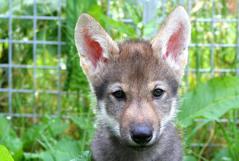 Волки удивили ученых своим поведением: они играли с людьми прямо как собаки (видео).Вокруг Света. Украина