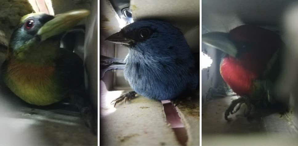 В Перу арестовали мужчину с 20 живыми птицами в чемодане