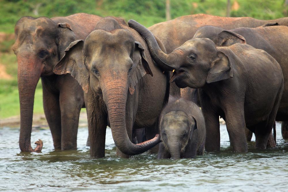 В 2019 году в Шри-Ланке погибло рекордное количество слонов