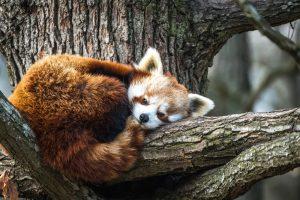 Красная панда во второй раз сбежала из британского заповедника