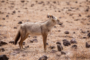 5 тысяч лет назад популяция волков в Африке переживала бум благодаря человеку