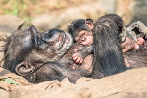 В ресторане Конго подавали мясо детеныша шимпанзе