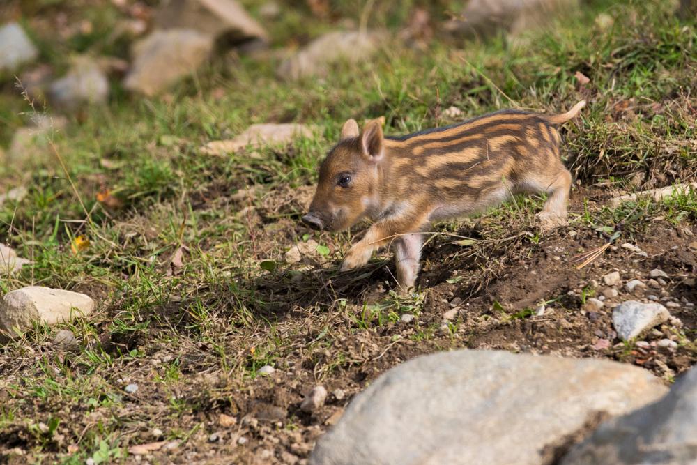 В зоне отчуждения Фукусимы выросли популяции диких животных