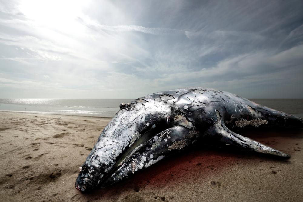 Океанологи выяснили причину массовой гибели китов в Калифорнии