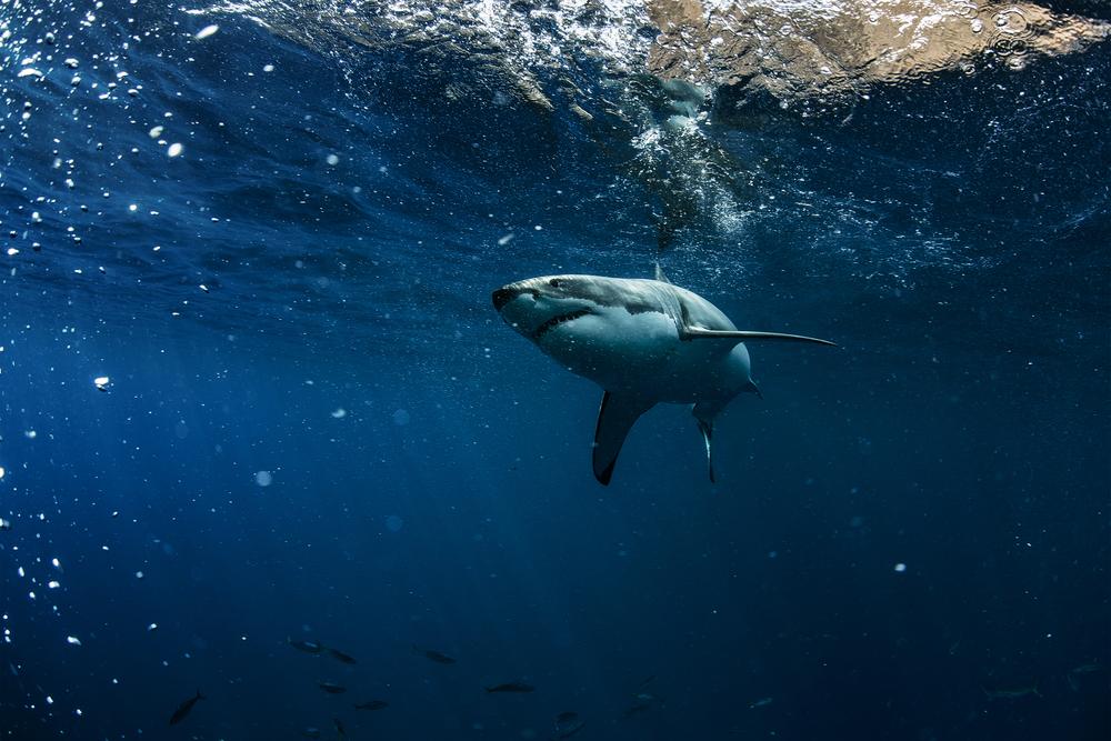 Спустя полтора года белые акулы возвращаются к побережью Южной Африки
