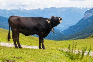 Мычание коровы может рассказать о её чувствах