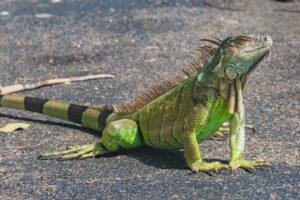 Осадки в виде игуан: во Флориде замерзшие животные падают с деревьев