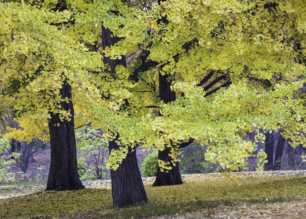 Деревья гингко билоба могут жить вечно: новое исследование