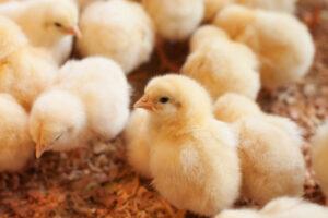 Во Франции запретили массовое уничтожение живых цыплят