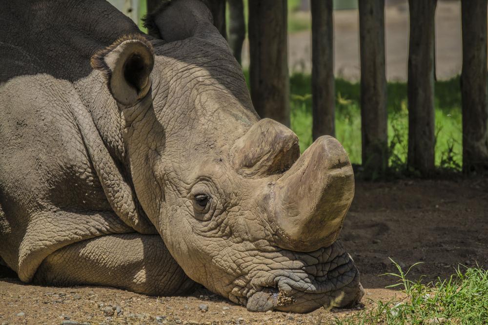 Ученые создали третий жизнеспособный эмбрион для спасения северного белого носорога.Вокруг Света. Украина
