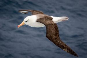 Птицы-альбатросы будут помогать Новой Зеландии выявлять нелегальные рыбацкие судна