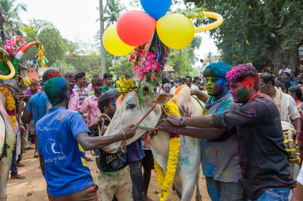 Понгал в Индии и на Шри-Ланке