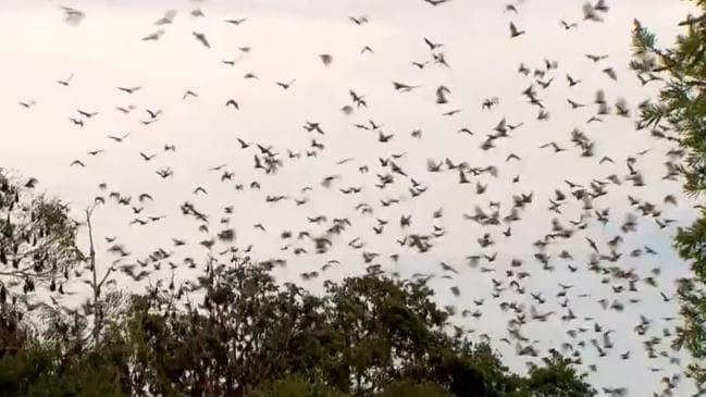 В Австралии зафиксировали торнадо из летучих мышей