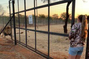 В Южной Африке львы загрызли смотрительницу зоопарка