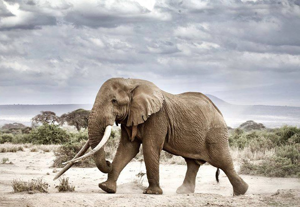В Кении умер прославленный слон с рекордно длинными бивнями.Вокруг Света. Украина