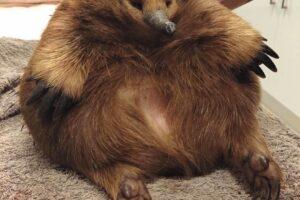 В Австралии ехидна выжила под колесами благодаря лишнему весу