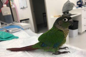 В Австралии травмированному попугаю сделали искусственные крылья