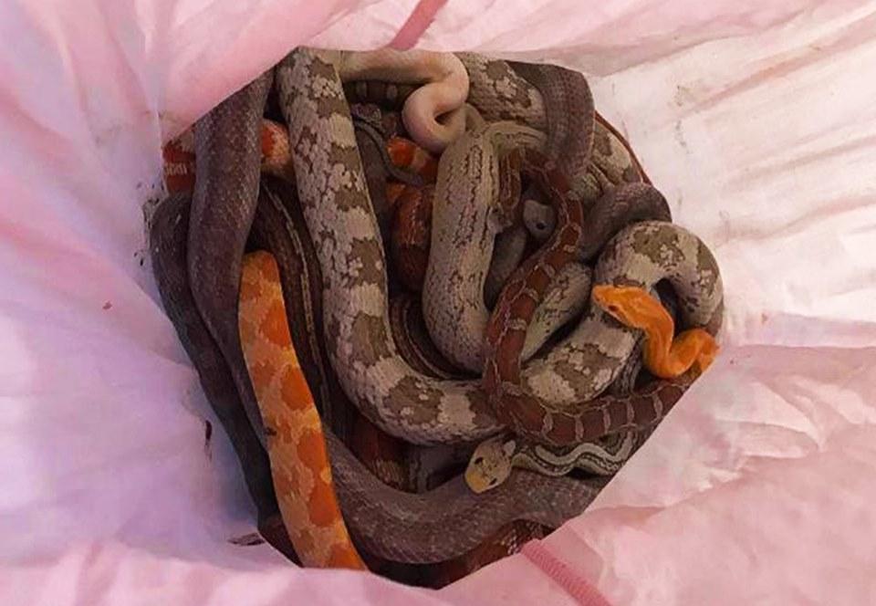 В Англии неизвестный выбросил наволочки с кишащими змеями.Вокруг Света. Украина