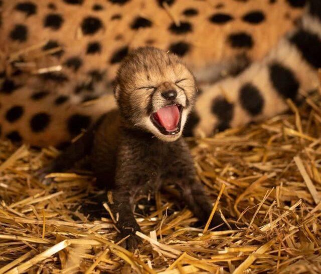 В американском зоопарке впервые в истории родились гепарды из пробирки