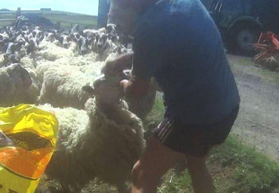 В Шотландии фермера оштрафовали за нанесение овцам оплеух