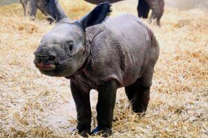 В зоопарке Денвера родился долгожданный детеныш носорога