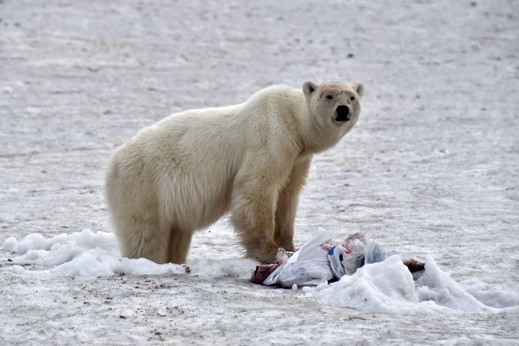 Каннибализм среди белых медведей становится все более распространенным