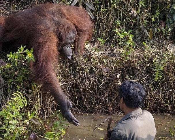 Дикий орангутан предложил человеку помощь.Вокруг Света. Украина
