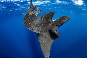 Каждая пятая китовая акула пережила морское ДТП