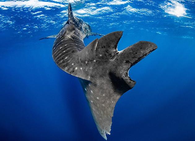Каждая пятая китовая акула пережила морское ДТП.Вокруг Света. Украина