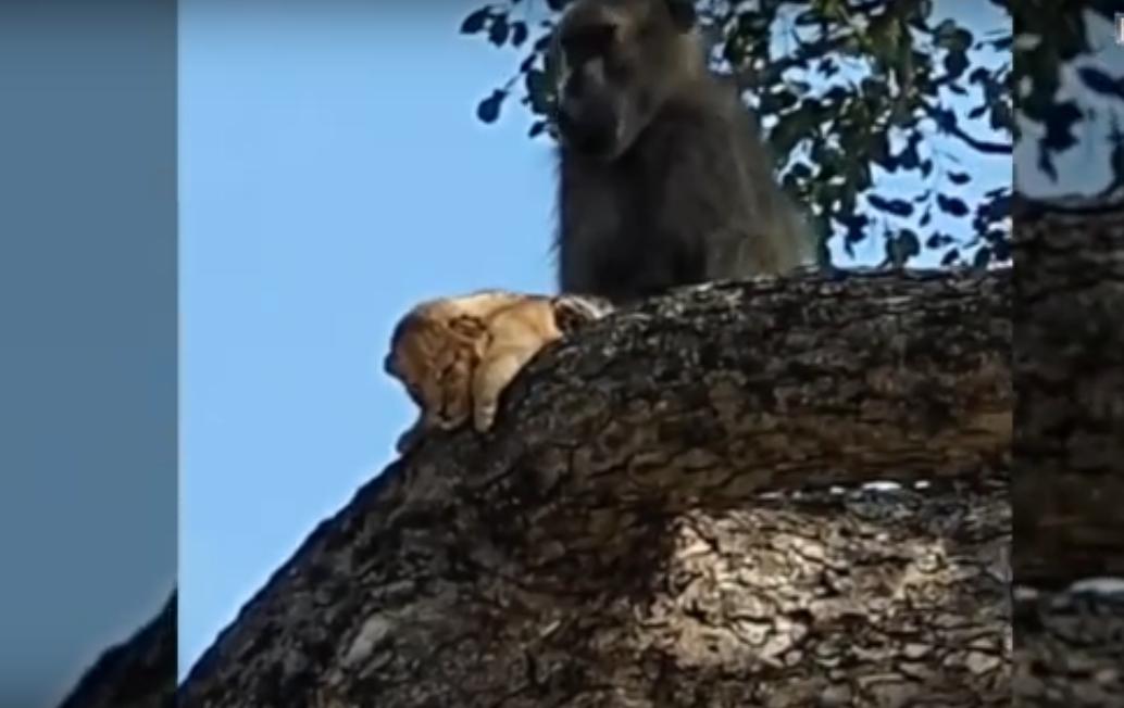 Бабуин украл львенка - сцена из