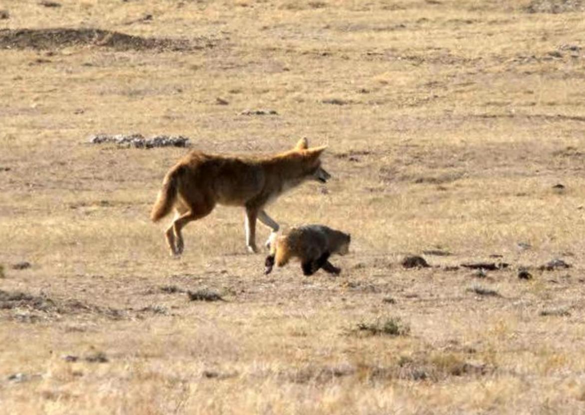 Игривый койот и медлительный барсук путешествуют вместе: забавное видео