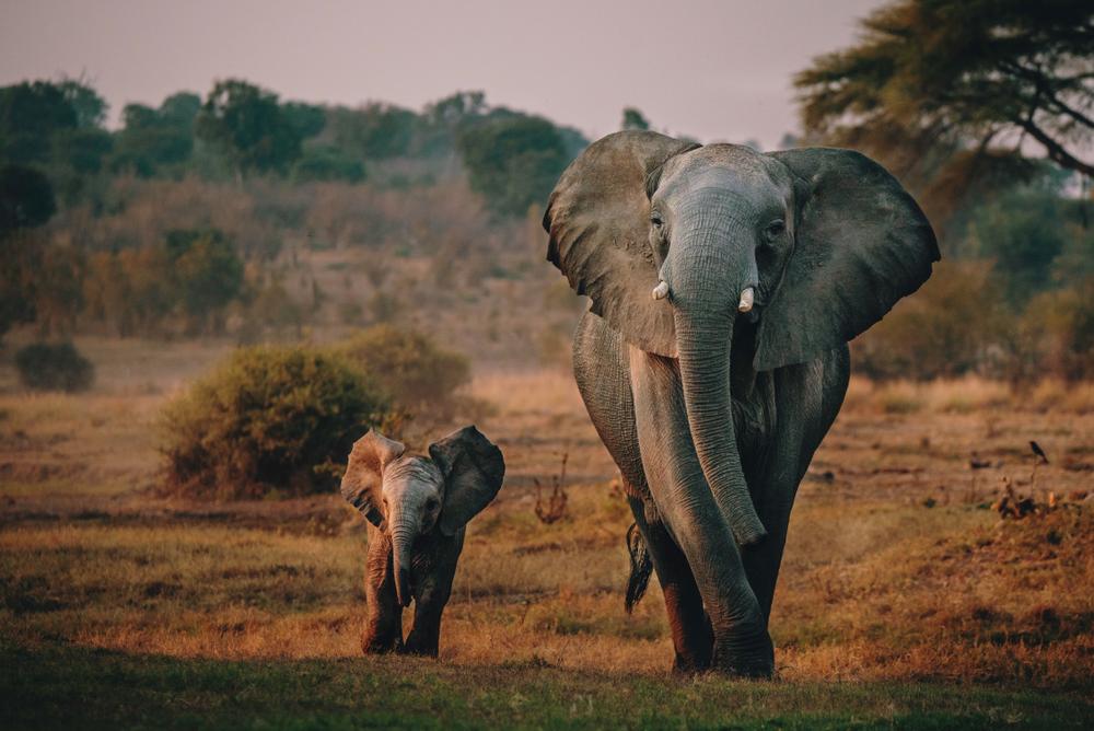 В Ботсване пройдет аукцион для охотников на слонов