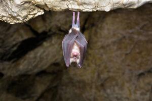 На острове Мэн нашли редкий вид крошечных летучих мышей