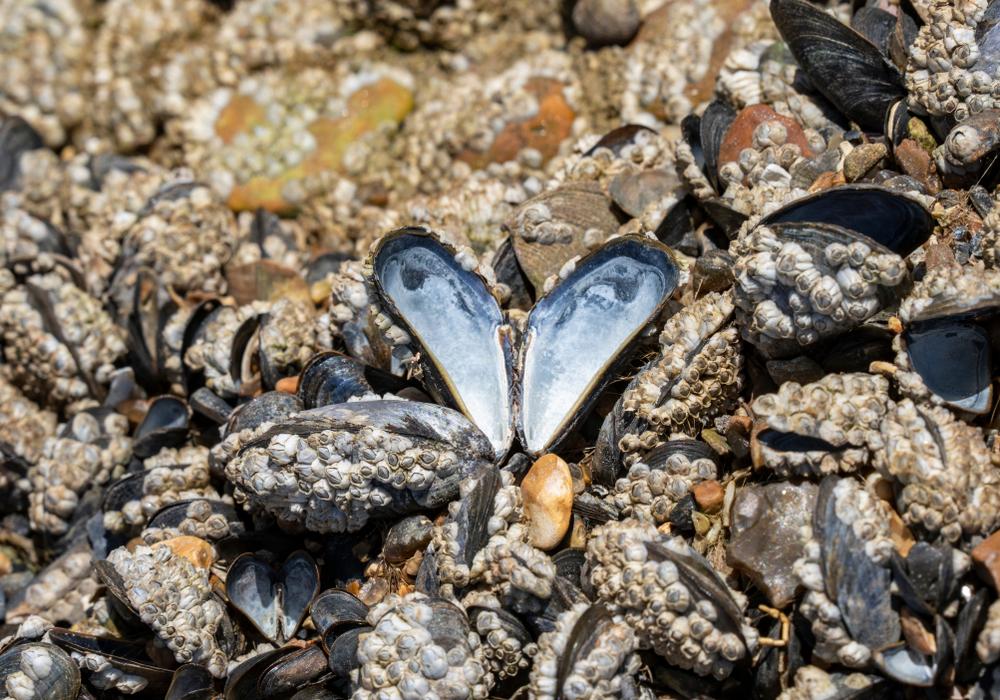 В Новой Зеландии мидии заживо сварились в океане